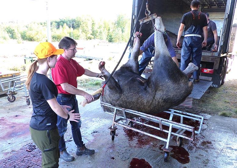Felice Amrén,Tomas Nilsson lastar av en lastbil med älgar.